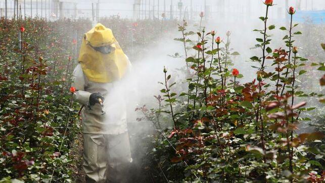 Las rosas colombianas para San Valentín, un trasfondo de resilienciafemenina